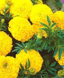 Бархатцы Лимонно-желтые, фото 2