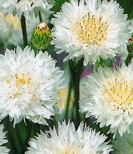 Волошка садовий білий, фото 2