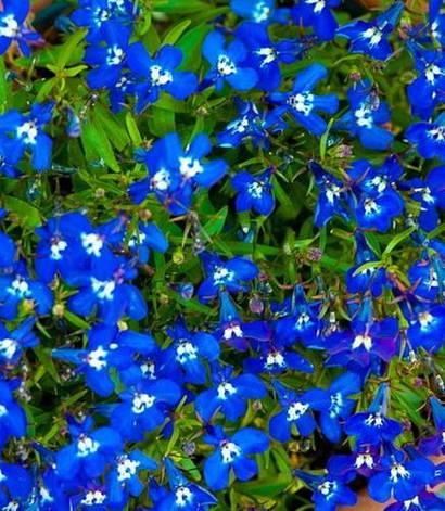 Лобелия синяя с белыми глазками, фото 2