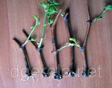 Черенки винограда столового