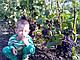 Черенки винограда столового, фото 5