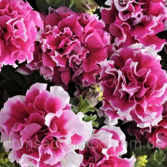 Петунія Grandiflora Pirouette F1 Pan American Rose