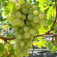 Виноград  Благовест (ранний)