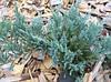 Можжевельник чешуйчатый Блю Карпет С2 (Juniperus squamata Blue Carpet)