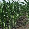 Семена кукурузы Оржица 237 МВ