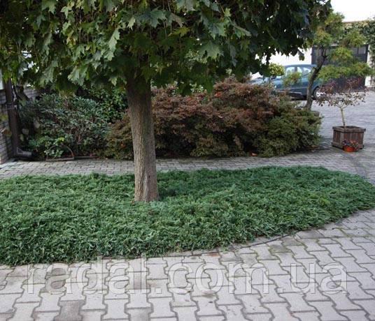 Можжевельник горизонтальный Вилтони Р9 (Juniperus horyzontalis Wiltonii)