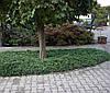 Можжевельник горизонтальный Вилтони (Juniperus horyzontalis Wiltonii)  (касета)