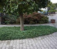 Можжевельник горизонтальный Вилтони (Juniperus horyzontalis Wiltonii)  (касета) , фото 1
