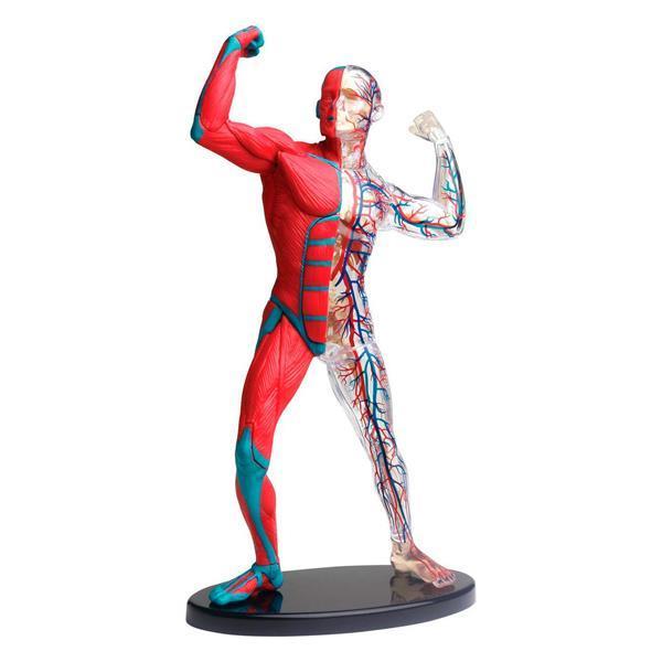 Модель мышц и скелета человека Edu-Toys сборная, 19 см (SK056)