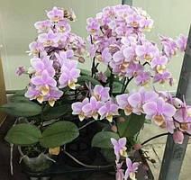 Орхидея подросток Pinlong cheris, 1.7 без цветов, диаметр горшка 5 см