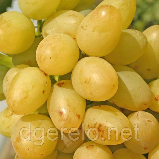 Виноград  Аркадия - ранний сорт