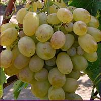 Виноград Новый подарок Запорожья