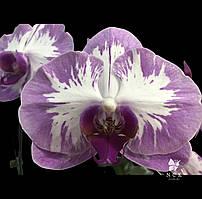 """Уценка! Орхидея Sun 1 (color instability), горшок 2.5"""" без цветов"""