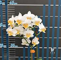 """Орхидея, горшок 2.5"""" без цветов. Younghome godspeed"""