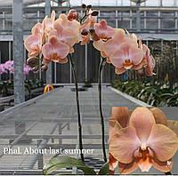 Орхідея сорт About last summer, без квітів, діаметр горщика 2.5 дюйма