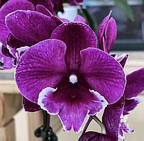 Орхидея подросток. Сорт Tyung Shin Black Bear, горшок 2.5 без цветов