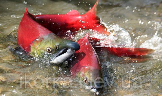 Риба Кета дефіцит та зникаючий вид