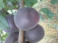 Чёрный абрикос - Чёрный принц