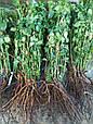 Саженцы чайно - гибридной розы Блуберри (BlueBerry), фото 3