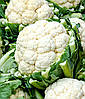 Семена капусты цветной Кердос F1, Seminis (Нидерланды), 2500 семян