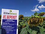 Высокоурожайный подсолнечник ЕС БЕРЕКЕТ под Евролайтинг. Семена ЕС БЕРЕКЕТ устойчивы к засухе и жаре. Производитель: Элита Селект.