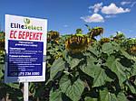 Подсолнечник ЕС БЕРЕКЕТ под Евролайтинг. Урожайный гибрид 42ц/га с олийностью 47%. Урожай 2021 года.