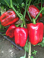 КЛЕРЕНІ F1 - насіння перцю солодкого кубовидного 500 нас.