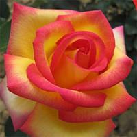 "Троянда на штамбі ""Jean Piat"" (Жан Піат)"