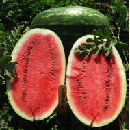 Семена Арбуза Ерли Саманта (1000 шт)