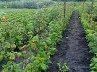 Посадка саженцев малины, подвязка и обрезка кустарников малины