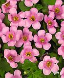 Бакопа Пинктопия Рожева F1 ампельна (мультидраже), фото 2