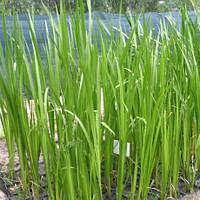 Аир обыкновенный, болотный - Acorus calamus