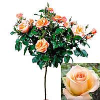 "Троянда на штамбі ""Версілія"""