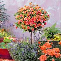 "Троянда на штамбі  ""Alegria"" (Алегрія)"