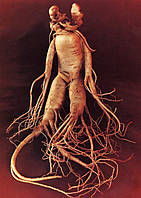 ЖЕНЬ-ШЕНЬ или КОРЕНЬ-ЧЕЛОВЕК - сухой корень 10 грамм