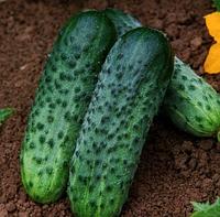 КАРАОКЕ F1 - насіння огірка, Rijk Zwaan 250 насінин