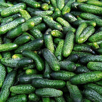 КОМПОНИСТ F1 - насіння огірка, Rijk Zwaan 250 насінин