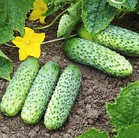 ПРЕСТО F1 - насіння огірка, Rijk Zwaan 250 насінин