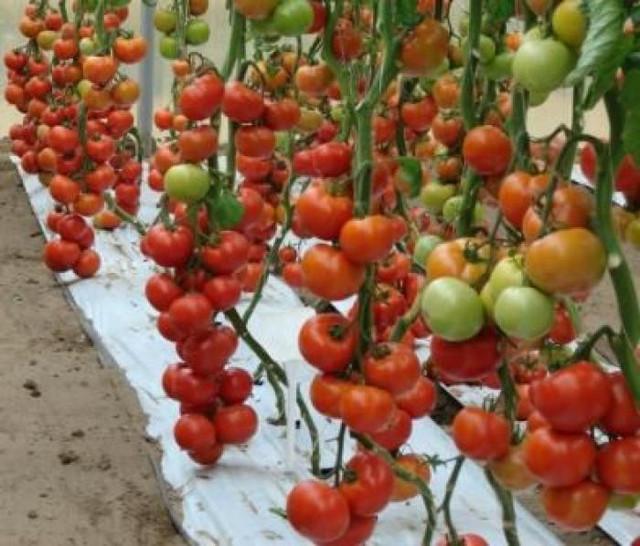 Cемена томатов индетерминантных
