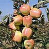 Саджанці яблуні ГОЛД ЧІФ зимового терміну (дворічний)