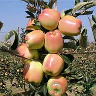 Саджанці яблуні ГОЛД ЧІФ зимового терміну (дворічний), фото 1