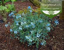 Corydalis flexuosa 'Porcelain Blue', Ряст звивистий 'Порселейн Блу',C2 - горщик 2л
