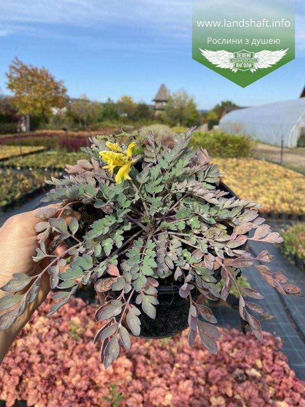 Corydalis hybrid 'Canary Feathers', Ряст 'Канарі Фізерс',C2 - горщик 2л