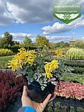 Corydalis hybrid 'Canary Feathers', Ряст 'Канарі Фізерс',C2 - горщик 2л, фото 2