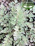 Corydalis hybrid 'Canary Feathers', Ряст 'Канарі Фізерс',C2 - горщик 2л, фото 3