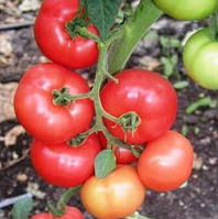 АБЕЛУС F1 - семена томата индетерминантного, 1 000 семян, Rijk Zwaan, фото 1