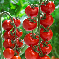 АМОРОЗО F1 - семена томата индетерминантного, 1 000 семян, Rijk Zwaan