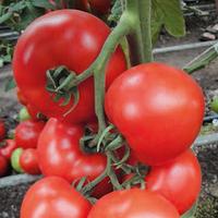 АТТИЯ F1 - семена томата индетерминантного, 1 000 семян, Rijk Zwaan, фото 1