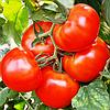 КАМРИ F1 - семена томата индетерминантного, 1 000 семян, Rijk Zwaan