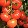 КЛАРАБЕЛЛА F1 - семена томата индетерминантного, 1 000 семян, Rijk Zwaan